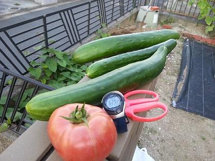 大きいトマトと大きいきゅうり.jpg
